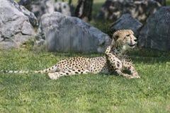 Cheetah in the jungle Stock Photos
