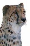 Cheetah in the jungle Stock Photo