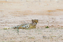 Cheetah in the Kalahari Desert Royalty Free Stock Images
