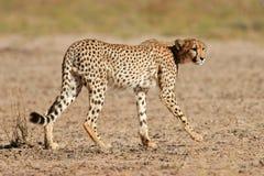 Cheetah, Kalahari desert, South Africa. Stalking cheetah (Acinonyx jubatis),  Kalahari, South Africa Stock Photo