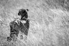 Cheetah in Kalhari Royalty Free Stock Images