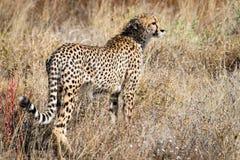 Cheetah in Kalhari Royalty Free Stock Photography