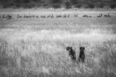 Cheetah in Kalhari Stock Photography
