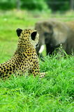 Cheetah keeping watch on passing elephant royalty free stock photos