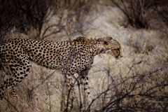 Cheetah in Kenia Stock Image