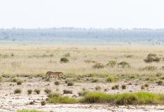 Cheetah in Kenya Stock Photo