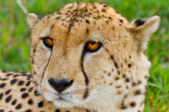 Cheetah in Kenya. Close up of face of cheetah in Kenya on sunny day Stock Photography