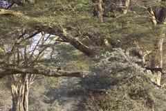 Cheetah in Kenya Royalty Free Stock Photo