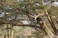 Cheetah in Kenya Stock Image