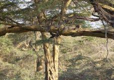 Cheetah in Kenya Royalty Free Stock Images