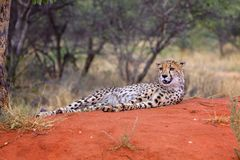 A cheetah in the Kgalagadi Transfrontier Park. South Africa Royalty Free Stock Photos