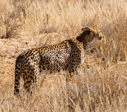 Cheetah. In the Kgalagadi is well-know for sitting on top of a red sand hill - they blend in with the environment and use it as a look-out point to hunt Stock Photos