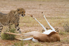 Cheetah kill. A young cheetah standing next to a dead springbok in the Kalahari desert Stock Photo