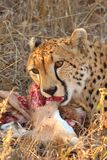 Cheetah on a kill Royalty Free Stock Image