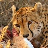Cheetah on a kill Stock Photos