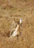 Cheetah killing a Thomson Gazelle Stock Image
