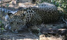 Cheetah. At Kruger National Park Stock Image