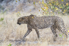 Cheetah in Kruger National Park, South Africa Royalty Free Stock Photography
