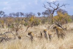 Cheetah in Kruger National park, South Africa stock images