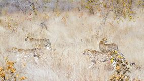 Cheetah in Kruger National park, South Africa stock image