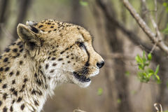 Cheetah in Kruger National park, South Africa Stock Photography