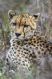 Cheetah in Kruger National park, South Africa Stock Photos