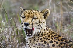 Cheetah in Kruger National park, South Africa Royalty Free Stock Images