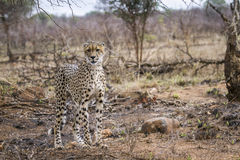 Cheetah in Kruger National park Royalty Free Stock Photography