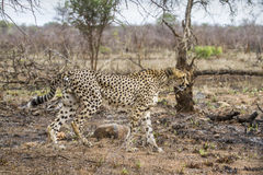 Cheetah in Kruger National park Stock Image