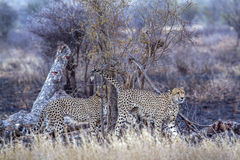 Cheetah in Kruger National park Stock Photography
