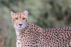 Cheetah in Kruger National Park Royalty Free Stock Images