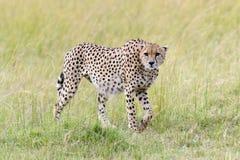 cheetah L'Afrique, Kenya Image stock