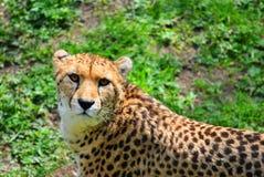 Cheetah. Latin name Acinonyx jubatus Stock Image