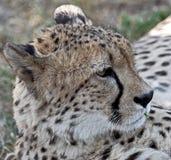 Cheetah 4 Stock Image