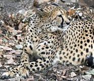 Cheetah 5 Royalty Free Stock Photos