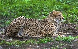 Cheetah on the lawn 1. Cheetah on the lawn. Latin name - Acinonyx jubatus Stock Image
