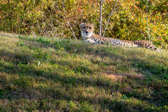Cheetah laying in grass Stock Images