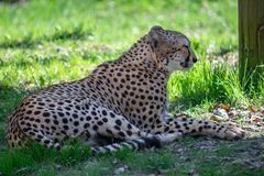 Cheetah laying in the grass royalty free stock photo