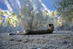 Cheetah laying on Ground Stock Photography
