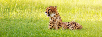 Cheetah Laying in Long Grass Royalty Free Stock Images