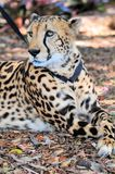 Cheetah on leash in zoo Royalty Free Stock Photo