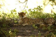 Cheetah at Leisure Stock Image