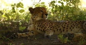 Cheetah at Leisure Stock Photos