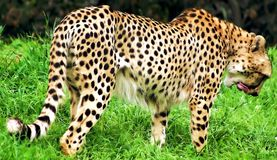 Cheetah Lick. The cheetah is a large felid of the subfamily Felinae that occurs mainly in eastern and southern Africa and a few parts of Iran. The cheetah is Royalty Free Stock Photos