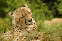Cheetah licking paw Stock Photography