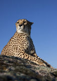 Cheetah lieing on a rock stock photo