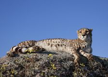 Cheetah laying on a rock Stock Photography