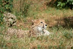 Cheetah lies in grass resting. In the zoo Stock Photos