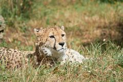 Cheetah lies in the grass and waits for prey closeup.  Royalty Free Stock Photography