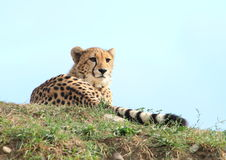 Cheetah Royalty Free Stock Photography